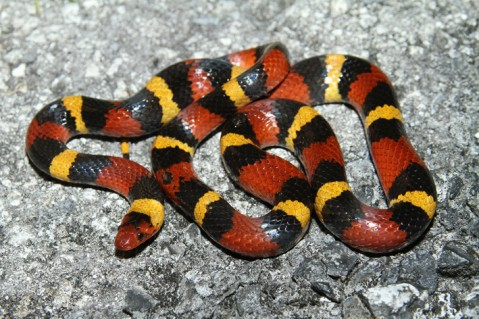 #NotesFromTheRiver - Eastern Coral Snake